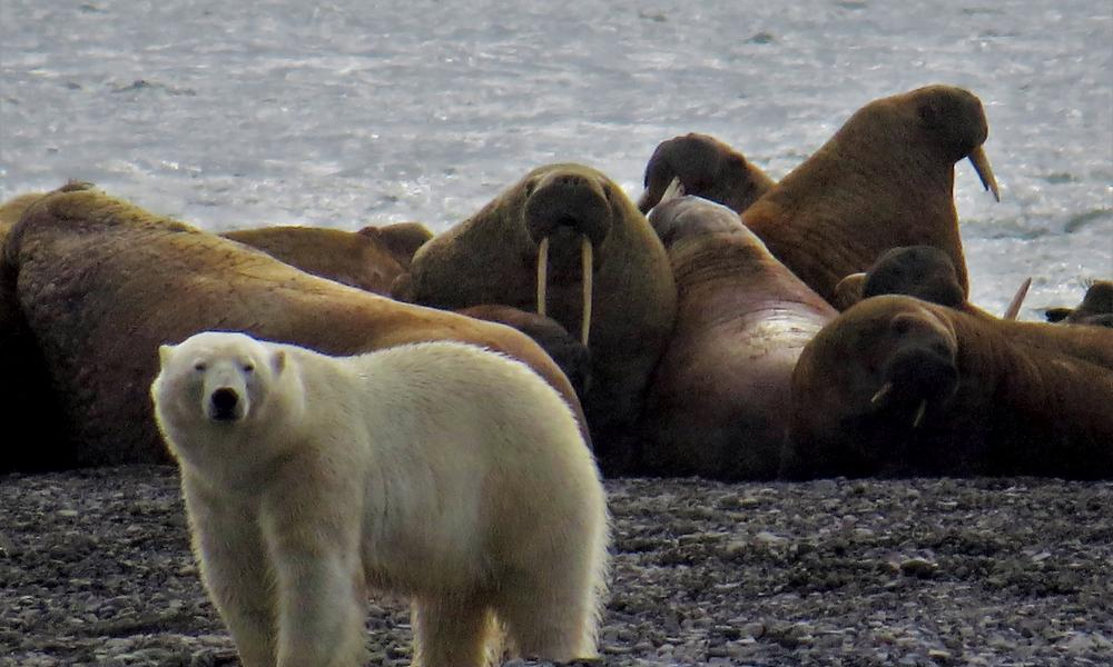 Walrus suicide hoax revealed